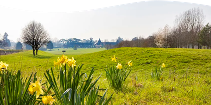 Ufford Park daffodils on the golf course